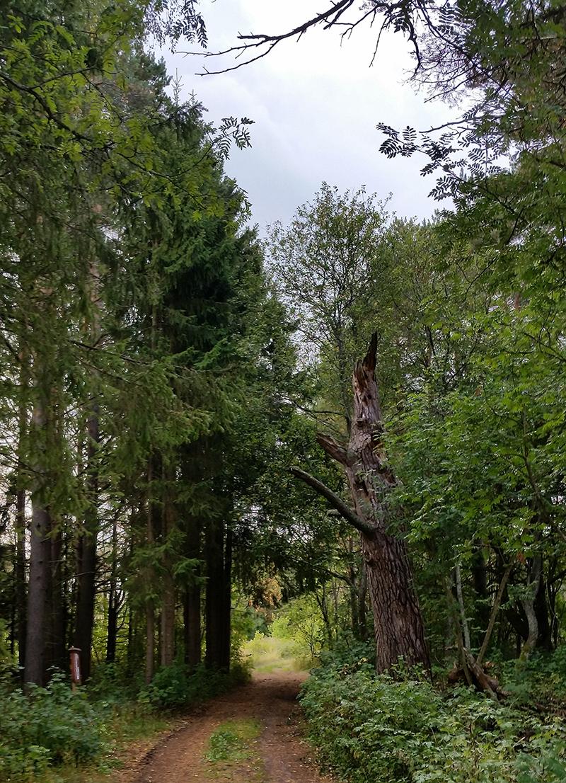 Vanha puu_Mari Pihlajaniemi
